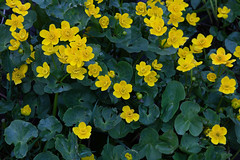 Bekkeblom #2 (twoeye) Tags: marshmarigold calthapalustris kingcup bekkeblom makroplanar1002ze