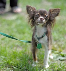 Buster (danvilar) Tags: dog pet chihuahua canine leash vicious anklebiter danvilat