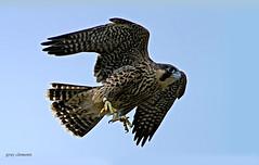 "peregrine falcon juvenile (wild) ("" yer tis my ansome "") Tags: exeter 7d birdsofprey peregrinefalcon falcoperegrinus exeterdevon juvenileperegrinefalcon wildperegrines sniper01 mygearandme peregrineinflight urbanperegrines cityperegrine"