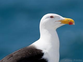 Great Black-Backed Gull.
