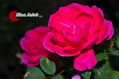 ..... (alaa_Photography) Tags: flowers ورد وردي زهور فوشي