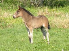 Fölet är en hingst (Anemone Nemorosa) Tags: horse foal häst föl nordsvensk