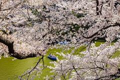 Trapped in The Cherry Blossoms / Tokyo, Japan (yameme) Tags: travel flowers nature japan canon eos tokyo  sakura cherryblossoms     chidorigafuchi   24105mmlis 5dmarkii 5d2