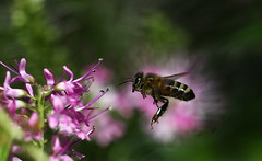 A beautiful Autumn Day (crafty1tutu (Ann)) Tags: pink autumn flower macro closeup insect sunny bee honeybee hebe impressedbeauty impressedbyyourbeauty naturethroughthelens gettycontributor crafty1tutu