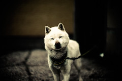 My Northern Friend (moaan) Tags: leica dog cold reunion smile smiling digital dark 50mm dof bokeh may f10 utata aomori noctilux 2012 watchdog gon  m9 revisit yagen hokkaidoken thelittledoglaughed leicanoctilux50mmf10 ainudog leicam9  ldlnoir