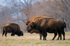 Shelby Farms (bhophotos) Tags: park geotagged nikon memphis tennessee bison shelbyfarms d300 midsouth shelbycounty 200400mmf4gvr bruceoakley