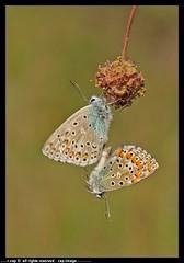 DSA_2624-10-05-2012 (r.zap) Tags: fiori zap idas farfalle lycaeides parcodelticino rzap robertozappaterra