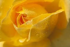 lacrime di gelosia (invitojazz) Tags: rose yellow drops cool nikon tears rosa jealousy gocce gialla lacrime d90 cool3 cool4 gelosia uncool2 uncool3 uncool4 uncool5 uncool6 uncool7 uncool1 invitojazz vitopaladini