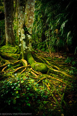Cluster of Roots (MADHAV CLICKS) Tags: tree photography bond root 2012 dpsgreen