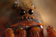 Lycosa erythrognatha (Techuser) Tags: macro nature animal bug spider close arachnid msn lycosidae raynox canon70300is