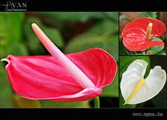 Flamingo Flower (Ayan.Photography) Tags: flower nature photography anthurium flamingoflower cognizant flickraward