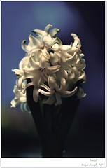 Smblck (Hseyin Baaolu 3) Tags: flowers white flower detail macro green art nature turkey lens spring trkiye mf zenit smbl springflowers hyacinth greenwhite iek yeil bitki biga turkei 135mmf28 dardanel doa tabiat anakkale ilkbahar primelenses whitehyacinth springphotos springphotography primelense yaknplan nikonmount russianlenses mflens tair11a135mmf28 baheiekleri manuelfocus pegai tair11a flowersphotography gndelikyaam sovietlenses nikond300s yaknplanekim hseyinbaaolu huseyinbasaoglu beyaziekler beyazsmbl manuelfocuslens dthseyinbaaolu dthuseyinbasaoglu dokudetay doafotorafl ilkbahariekleri iekfotorafl eviekleri