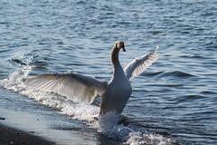 IMG_2967 (JD Viso) Tags: parque lago libertad freedom italia natural free libre cisne bracciano