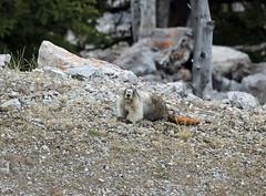 Hoary Marmot (K Fletcher) Tags: mammal rodent banff marmot hoary