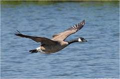 Sorry, another BIF :) (TenZ.NL (back again)) Tags: canada pentax wildlife flight goose gans canadagoose brantacanadensis k5 bif birdinflight canadensis branta canadese sigma100300f4 canadesegans