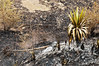 A Cactus Plant manages to survive the onslaught of the fire but another one standstotally destroyed in the fire ravaged hillside – More Fires in the Himalayas – Dagshai HIlls (Anoop Negi) Tags: road trees portrait india tree pine forest fire photography for photo shimla media delhi indian bangalore creative photojournalism best hills burning needle jungle indie po needles mumbai fires anoop indien himalayas journalism cones inde negi rajghat インド dagshai 印度 índia solan הודו 인도 ezee123 độ intia الهند salogra ấn هندوستان индия індія بھارت индија อินเดีย jjournalism ינדיאַ ãndia بھارتấnđộינדיאַ indiã