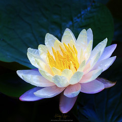 Unreal beauty 2 (Nguyn Hong (Mattoet)) Tags: pink flowers light white flower water beautiful yellow lily sen hoa artphoto hoasng hoangnguyen sng hoasen thinnhin nguyenhoang nguynhong nguyenhoangarc hoangnguyenarc