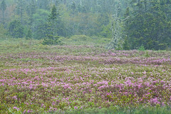 Wild rhododendrons near West Dover (laszlofromhalifax) Tags: rhodora wildrhododendron native plant flowering blooming blossom meadow forest westdover novascotia canada gettyimagescanada wildflower raining rain