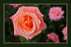 Rose (rogermarcel) Tags: macro rose rogermarcel