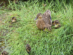Ducklings, Ballygalley (James Buchanan) Tags: ireland ducklings northern ballygalley