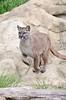 Puma 2 (Funky Foxy) Tags: puma bigcats pumaconcolor endangeredbigcats
