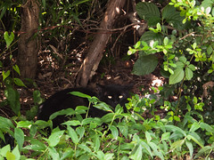 Pretending a black panther in jungle (kasa51) Tags: digital cat lumix olympus panasonic   gf1  1250mm f3563 mzuiko