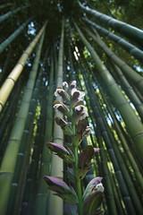 lo sai che i bambu son alti alti alti (giuseppesavo) Tags: italy italia pentax bamboo linux latina ubuntu bambu ninfa oasi k7 sermoneta monumentonaturale giardinidininfa pentaxda1224f4 pentaxiani photivo romamor2014settembre pp9354