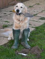 DSC_3594 (iphone.john) Tags: goldenretriever bury biscuit hide bone wellingtonboots wellies dig trowel
