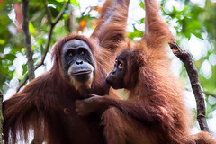 Ratna and Youngster 4811 (Ursula in Aus) Tags: animal sumatra indonesia unesco orangutan ape greatape bukitlawang gunungleusernationalpark earthasia
