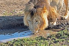 Lapping it up. (Picture Taker 2) Tags: africa reflection nature water animal animals wildlife bigcat hunter wilderness predator upclose mammals masaimara wildanimals earlylight naturesfinest africaanimals animalkingdomelite anawesomeshot almostanything flickrbigcats