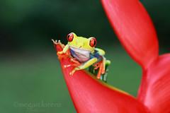 Rana (Megan Lorenz) Tags: travel red wild macro eye nature rainforest costarica wildlife amphibian 100mm frog treefrog redeyedtreefrog sarapiqui 2013 mlorenz meganlorenz