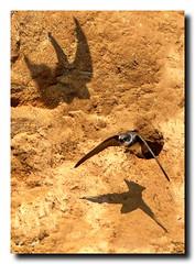 Sand Martins at Barmston - East Yorkshire 16 (andyrotchell) Tags: eastyorkshire barmston sandmartins nestinginthecliffs