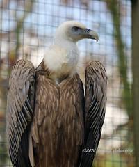 White-headed vulture (tommyajohansson) Tags: england geotagged hampshire andover vulture raubvogel birdofprey gam buitre geier vautour hawkconservancy rovfgel wollkopfgeier vautourtteblanche oiseaudeproie hawkconservancytrust avederapia tommyajohansson buitrecabeciblanco vithuvadgam