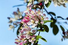 Springtime (Rolf Piepenbring) Tags: spring blossoms cherryblossoms frhling blten kirschblten