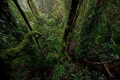 Antarctic beech forest, Springbrook NP (ross_coupland) Tags: world park heritage clouds forest gold coast rainforest national valley queensland vegetation brook beech antarctic springbrook gondwana hinterland nothofagus purling numinbah