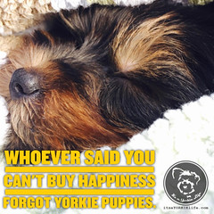 Of course you can also adopt happiness! (itsayorkielife) Tags: yorkiememe yorkie yorkshireterrier quote