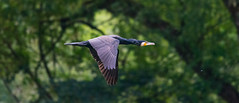 Cormorant (abritinquint Natural Photography) Tags: bird vogel natural nature wild wildlife nikon d7200 telephoto 300mm pf f4 300mmf4 nikkor teleconvertor tc14eii pfedvr germany luxembourg trier mosel river water cormorant