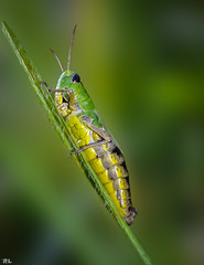 Grashpfer (roland_lehnhardt) Tags: macro green closeup bug insect dof bokeh grasshopper grn makro orthoptera nahaufnahme schrfentiefe grashpfer acrididae gomphocerinae tiefenschrfe neoptera hautflgler chorthippusparallelus feldheuschrecken beyondbokeh