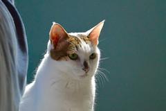 Gaga (--RJ--) Tags: pets sunshine cat kitten kitty