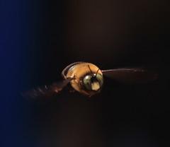(wolfy138) Tags: macro bumblebee handheld 100mmmacro hiddenworld canont2i