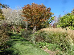 NSW Southern Highlands. Sutton Forest. In Red Cow Farm garden in the autumn. Grass garden and autumn tree. (denisbin) Tags: autumn lake garden bee foliage japanesemaple acer refelction mossvale suttonforest redcowfarm zinniaandbee