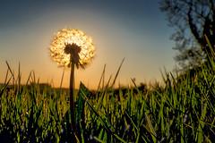 SunLion (Otto-Mate) Tags: ireland sunset sky sun plant macro tree nature field grass spring meadow dandelion northernireland northern blades countydown