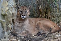 Mountain lion - Olmense Zoo (Mandenno photography) Tags: mountain animal animals cat big belgium belgie lion bigcat puma cougar dieren dierentuin dierenpark olmen olmensezoo olmense