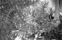 160429_CanonetGIII_012 (Matsui Hiroyuki) Tags: fujifilmneopan100acros canoncanonetgiiiql1740mmf17 epsongtx8203200dpi
