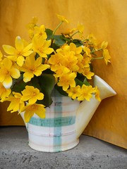 Happy birthday Maureen! (Jeannette Greaves) Tags: flowers wild explore 2016 marshmarigolds cmwdyellow
