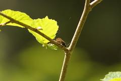 Sunbathing (tusenord) Tags: light green insect ljus insekter alderfly sialidae pjltn fotosndag svslndor fs160522