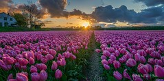 This is a typical Dutch landscape with tulips (Toon E) Tags: pink flowers sunset holland netherlands zeiss tulips sony nederland lisse 2016 bollenstreek hillegom vogelenzang a6000 sonyvariotessare1670mmf4
