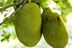 Jackfruit (photocat001) Tags: tree jackfruit