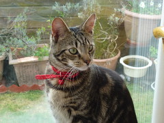 Little Mara ! (Mara 1) Tags: windows face eyes kitten stripes tabby ears whiskers indoors