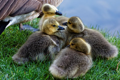 Future generations (aleadam) Tags: goose geese gosling family park future generation birds feather wet water drop nature animals green yellow blue grass dof